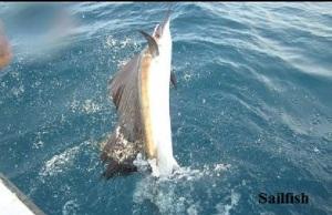 sailfish[1]