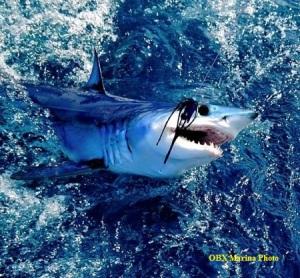 sharkobx marina