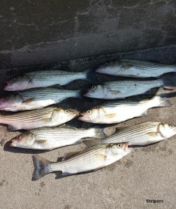 stripers1