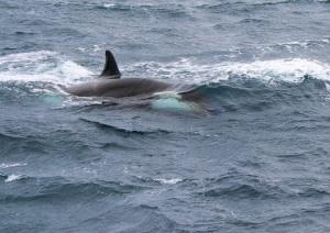 Killer shark,orca