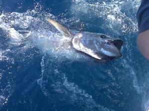 bluefin[1]