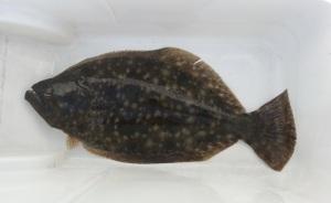 flounder (2)