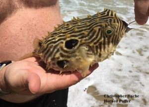 horned puffer fish