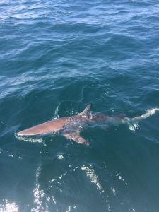 spinner-shark