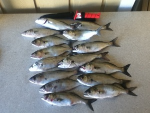 bluefish-3